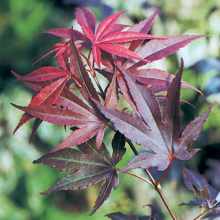 Acer palmatum Plant - Atropurpureum 50/60