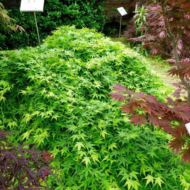 Acer palmatum Plant - Ryusen