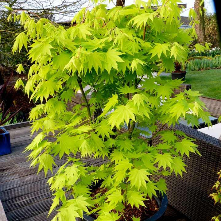 Acer shirasawanum Plant - Jordan 30/40