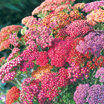 Click to view product details and reviews for Achillea Seeds Summer Berries.