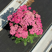 Achillea Plant - Milly Rock Rose