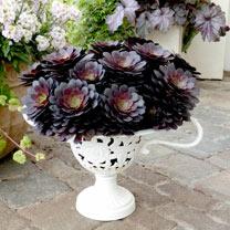 Aeonium Plant - Tip Top