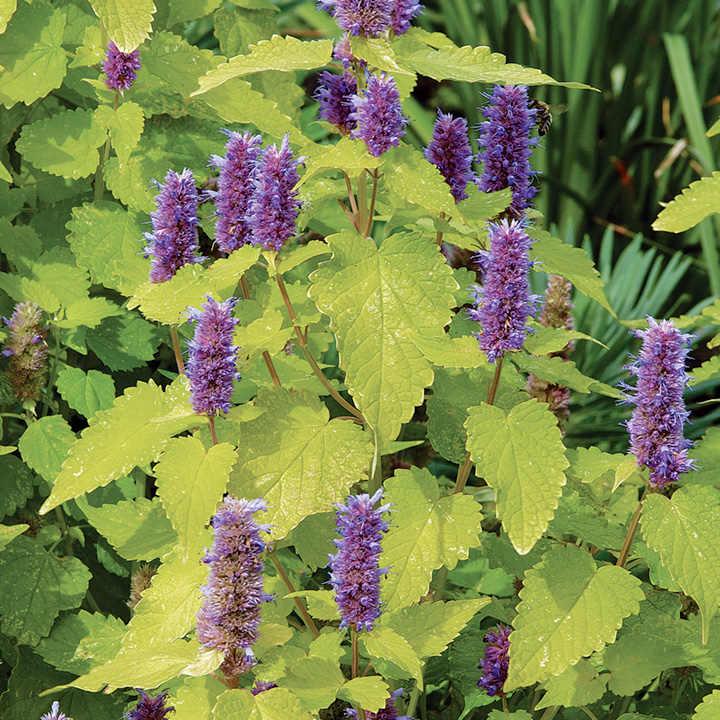 Agastache Plants - Golden Jubilee
