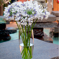 Agapanthus Plants - Twister