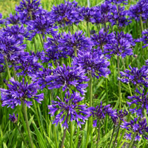 Agapanthus Plant - Pretty Heidy