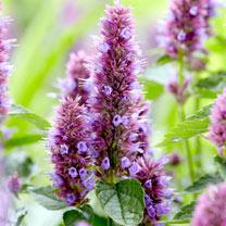 Agastache Plant - Beelicious Purple