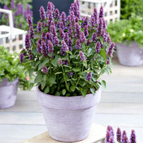 Agastache Plants - Beelicious Purple