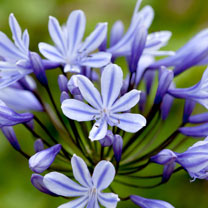 Agapanthus Plant - Sweet Surprise
