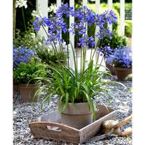 Agapanthus Plants - Ever Sapphire