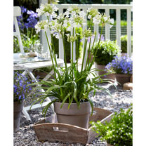 Agapanthus Plant - Ever White