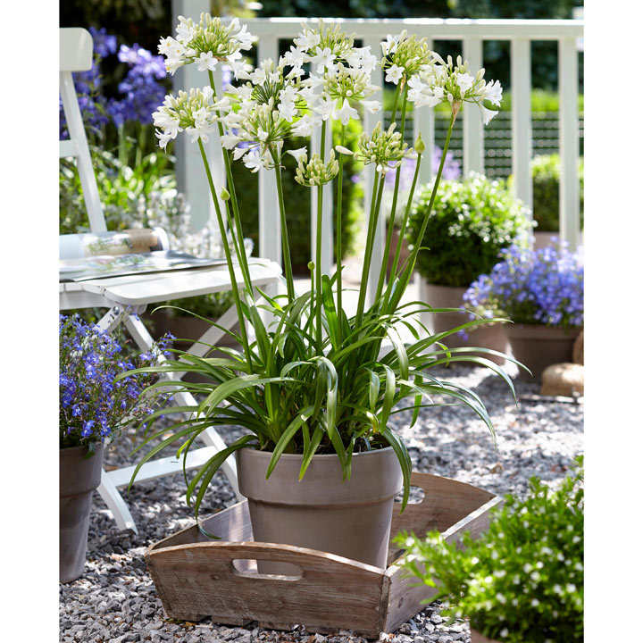 Agapanthus Plant - Ever White