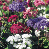 Ageratum Seeds - Timeless Mix