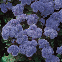 Click to view product details and reviews for Ageratum Seeds Blue Mink.