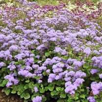 Ageratum Seeds - F1 Blue Planet