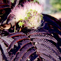 Albizia julibr. Plant - 'Summer Chocolate'