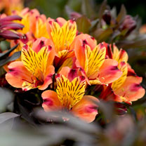 Alstroemeria Indian Summer