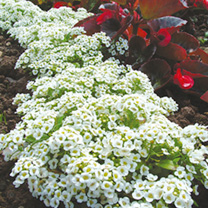 Click to view product details and reviews for Alyssum Seeds Snow Carpet Improved Strain.