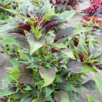 Callaloo Plants - Amaranthus sp