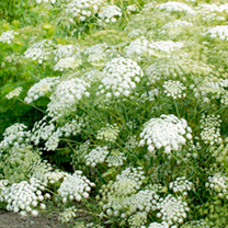 A fantastic border filler, producing masses of elegant snow-white flower heads atop lime green stems. Why not try sowing it alongside cornflowers, pop