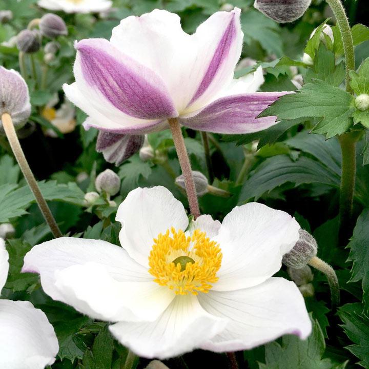 Anemone Plant - Elfin Swan