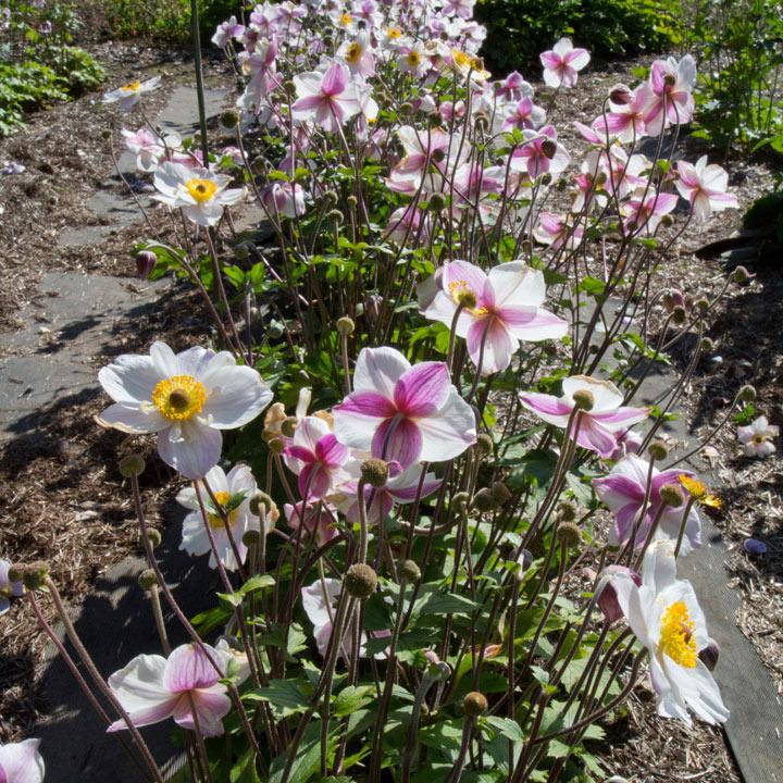 Anemone Plant - Dainty Swan