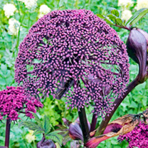 Image of Angelica Plants - Gigas