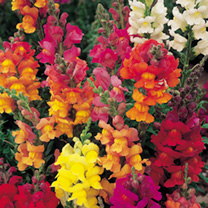 Antirrhinum Seeds Illumination Mix