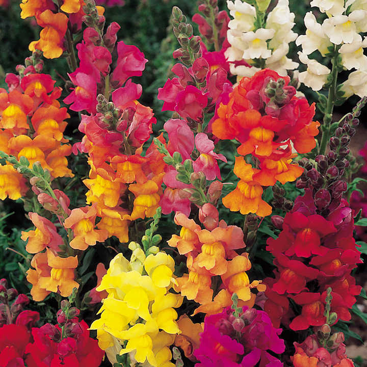 Antirrhinum Seeds - Illumination Mix