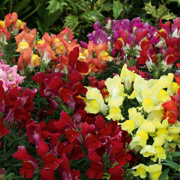 antirrhinum dragon flower magic carpet mix view all flower