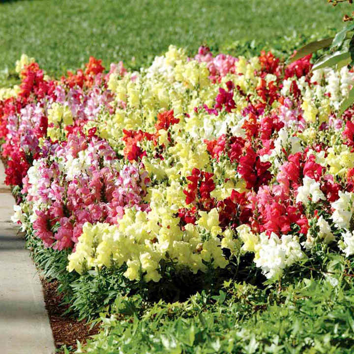Antirrhinum Plants - F1 Kim Mix