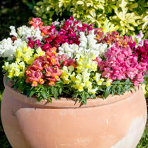 A compact, bushy variety smothered in masses of flowers of red, yellow and pink shades, together with white, to create a truly attention-grabbing disp