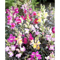 Click to view product details and reviews for Antirrhinum Seeds Twilight Mix.