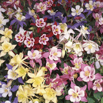 Aquilegia Plants - Swan Mixed