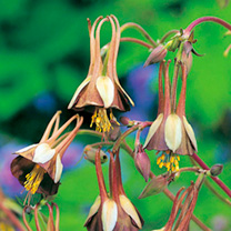 Aquilegia Seeds - Chocolate Soldier