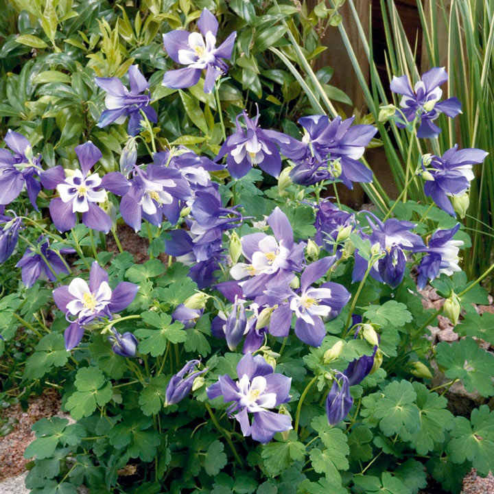 Columbine Floral And Gifts: Aquilegia Spring Magic Blue & White