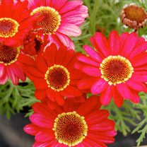 Marguerite Plant - Grandaisy Red