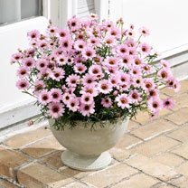 Click to view product details and reviews for Argyranthemum Plants Grandaisy Pink.