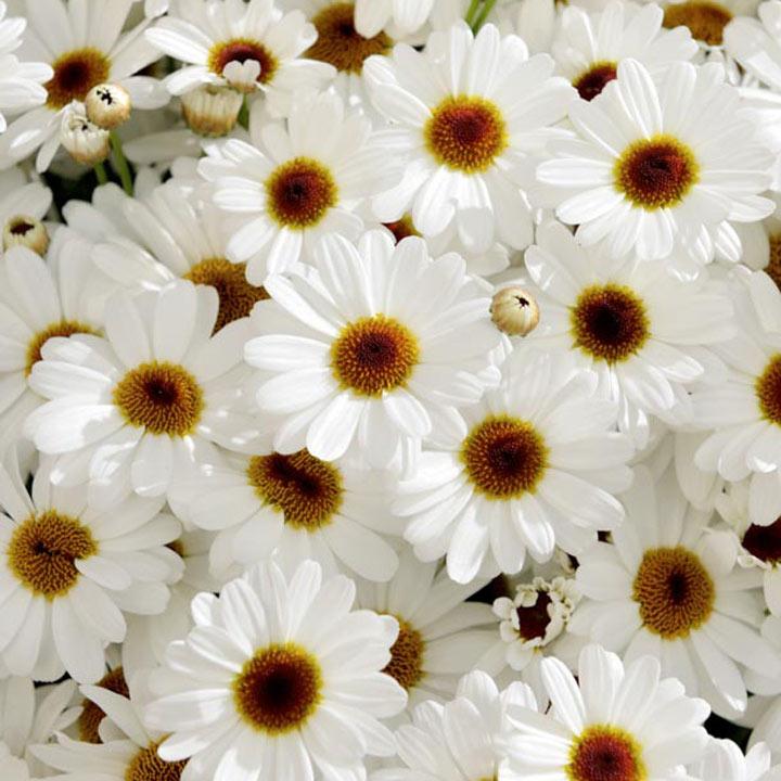 Argyranthemum (Marguerite) Plant - Grandaisy White