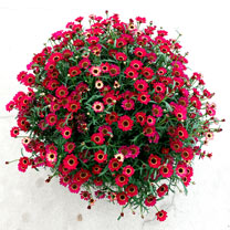 Argyranthemum Plant - Ruby