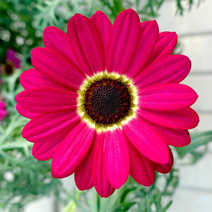 Argyranthemum Plant Grandaisy Ruby