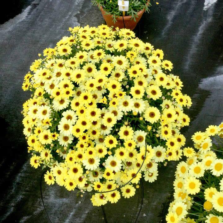 Argyranthemum (Marguerite) Plant - Gold