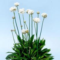 Armeria Plant - Ballerina White