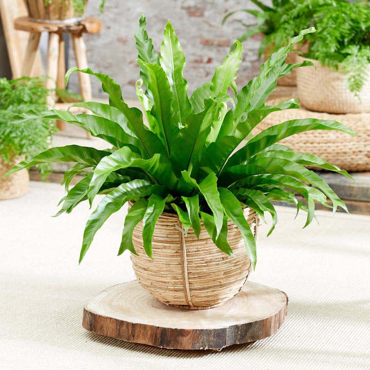 Asplenium antiquum Plant