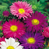 Aster Seeds Lazy Daisy Mix