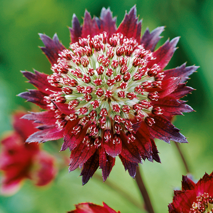 Astrantia Potted Plant - Moulin Rouge