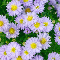 Aster Plant - Autumn  Jewels 'Aqua Compact'