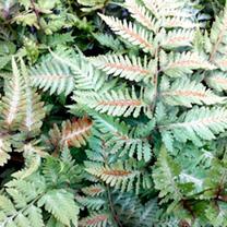 Athyrium Plants - Metallicum