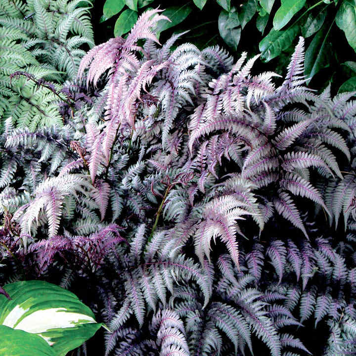 Athyrium Plant - Burgundy Lace