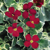 Aubrieta Plants - Swan Red