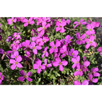 A great ground covering perennial or alpine that is smothered in flowers in spring and into early summer. The plants create mounds of small foliage wh